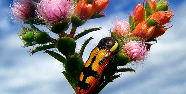 Vegetation Survey and Assessments Perth WA Beetle and Flower